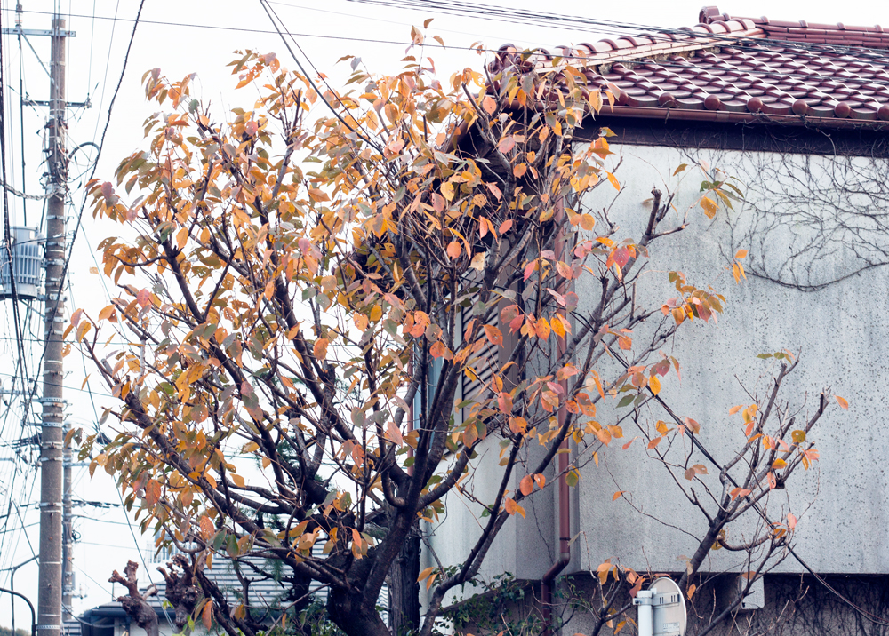 Fall tree, Tokyo, japan
