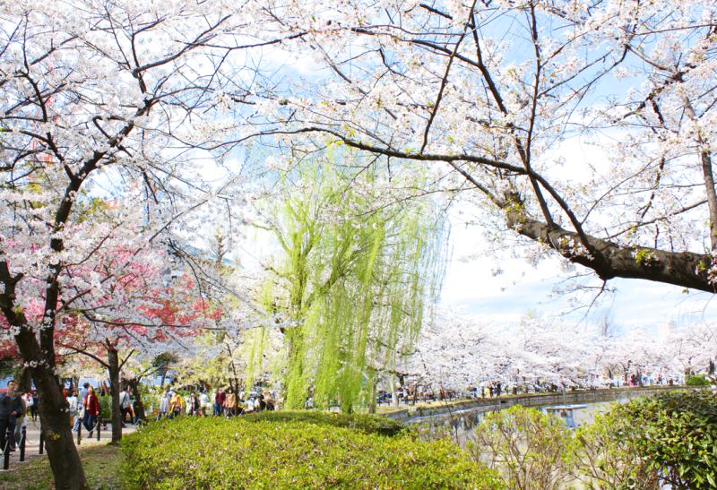 cherry blossoms, sakura, tokyo, japan, tokyo spring, cherry blossom season, yoyogi park, uno , meguro cherry blossoms