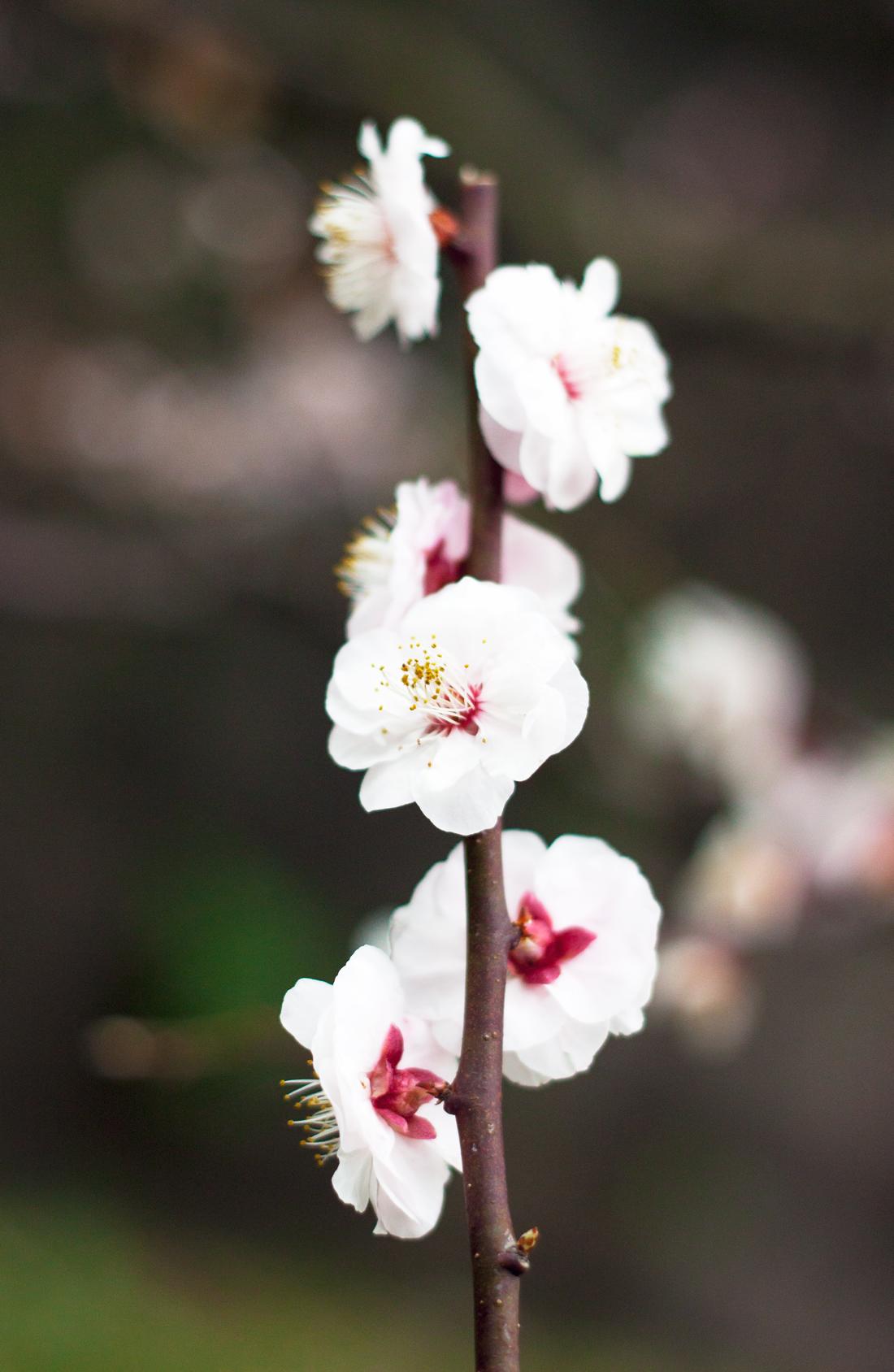 cherry blossom skirt, sakura, cherry blossoms, japan, tokyo spring, empire east gardens tokyo, leather jacket, quilted bag