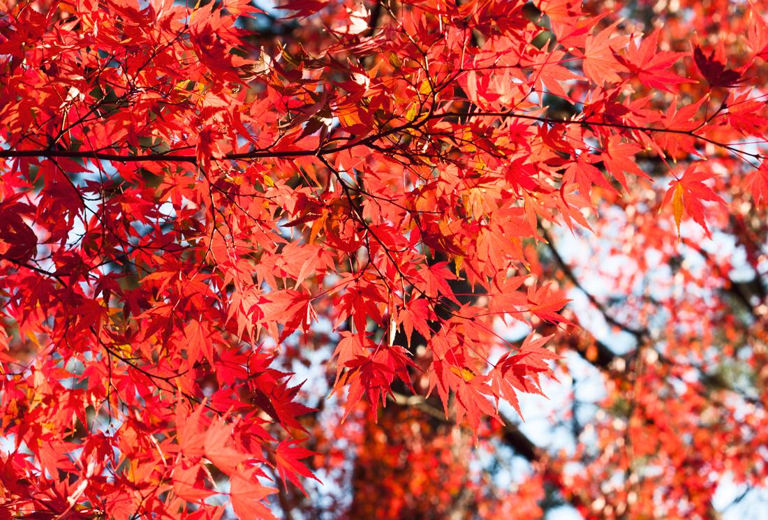 yoyogi park, japan, tokyo, fall, autumn,