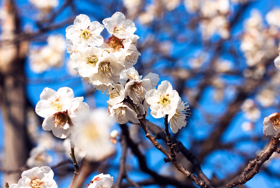 Zojoji temple, tokyo, japan, japanese history, japanese culture, japanese temple, japanese nature, plum blossoms