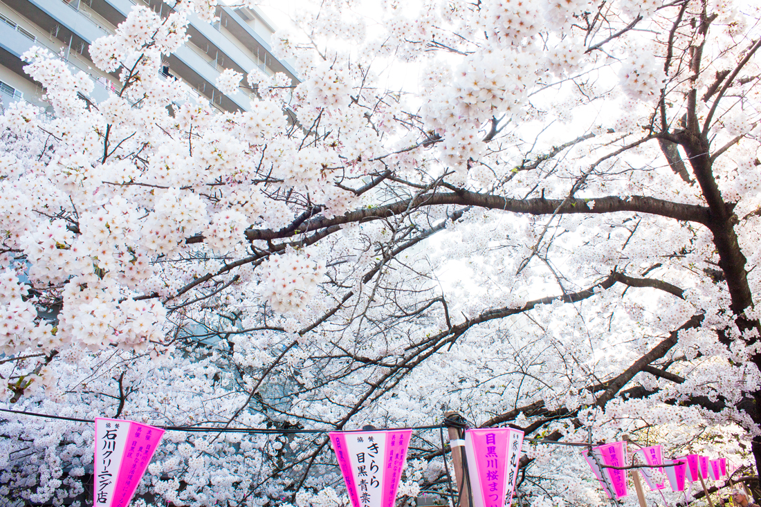 nakameguro cherry blossom, tokyo, japan, japanese spring, cherry blossoms, sakura, hanami