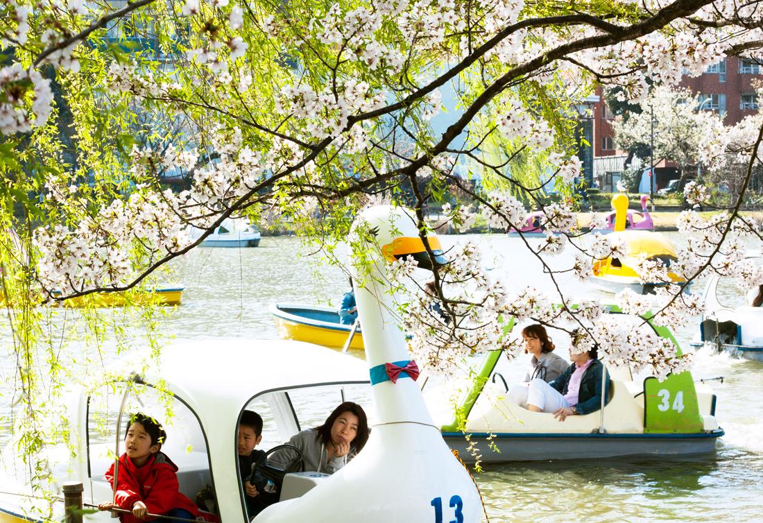 shinobazu pond, tokyo, japan, cherry blossom, sakura, cherry blossom season, japan spring, japanese nature