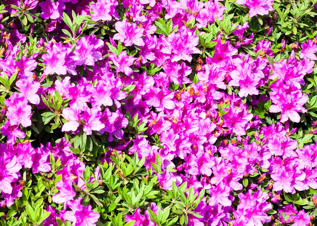 Azalea, magenta, tokyo, japanese flowers, shinjuku gyoen national garden, azaleas, pink, マゼンタ、躑躅