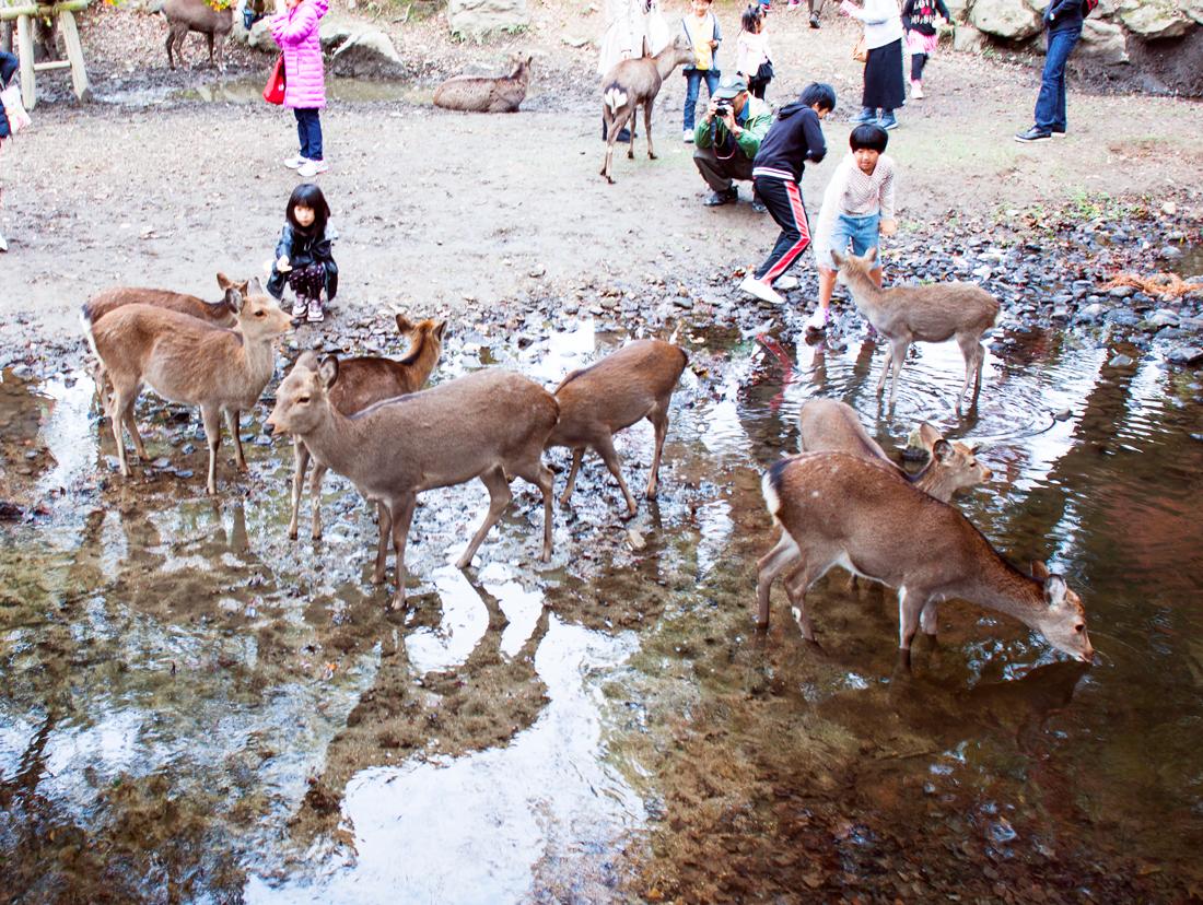 Nara, Japan, Nara Park Japan, Nara park deer, tame deer, japan deer, deer sightseeing, deer park, nara koen, japan touristing, japan sightseeing