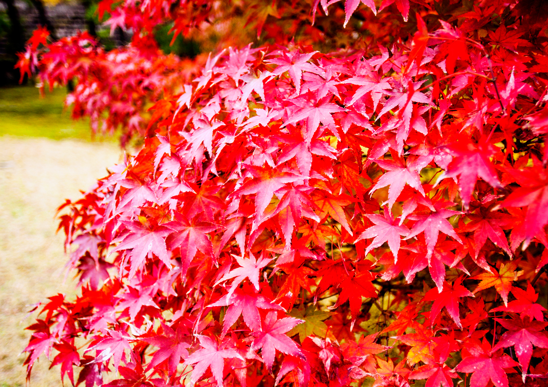 Kyoto sightseeing, kyoto, fall in kyoto, japan, japan fall, autumn, leopard hat, nijō castle, nijo castle, japan sightseeing, japanese maple tree, japanese garden, fall in japan