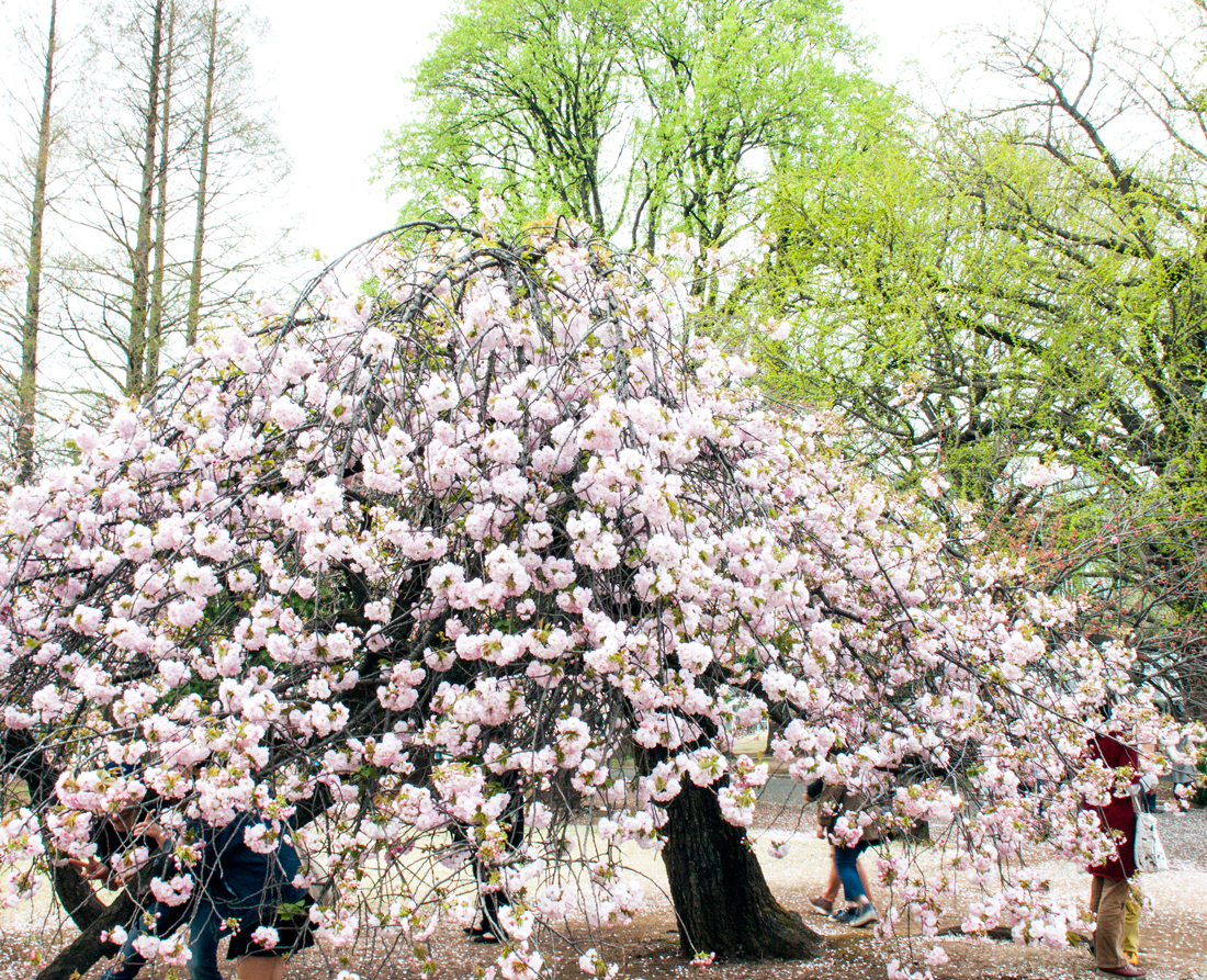 denim sakura, cherry blossom, cherry blossom season, cherry blossoms tokyo, sakura tokyo, shinjuku gyoen national park cherry blossoms, late blooming cherry blossoms, sakura season, fashion cherry blossoms, tokyo blog, earth choker, cherry blossom season 2016, dutch braids, dutch braids pigtails, two side dutch braids