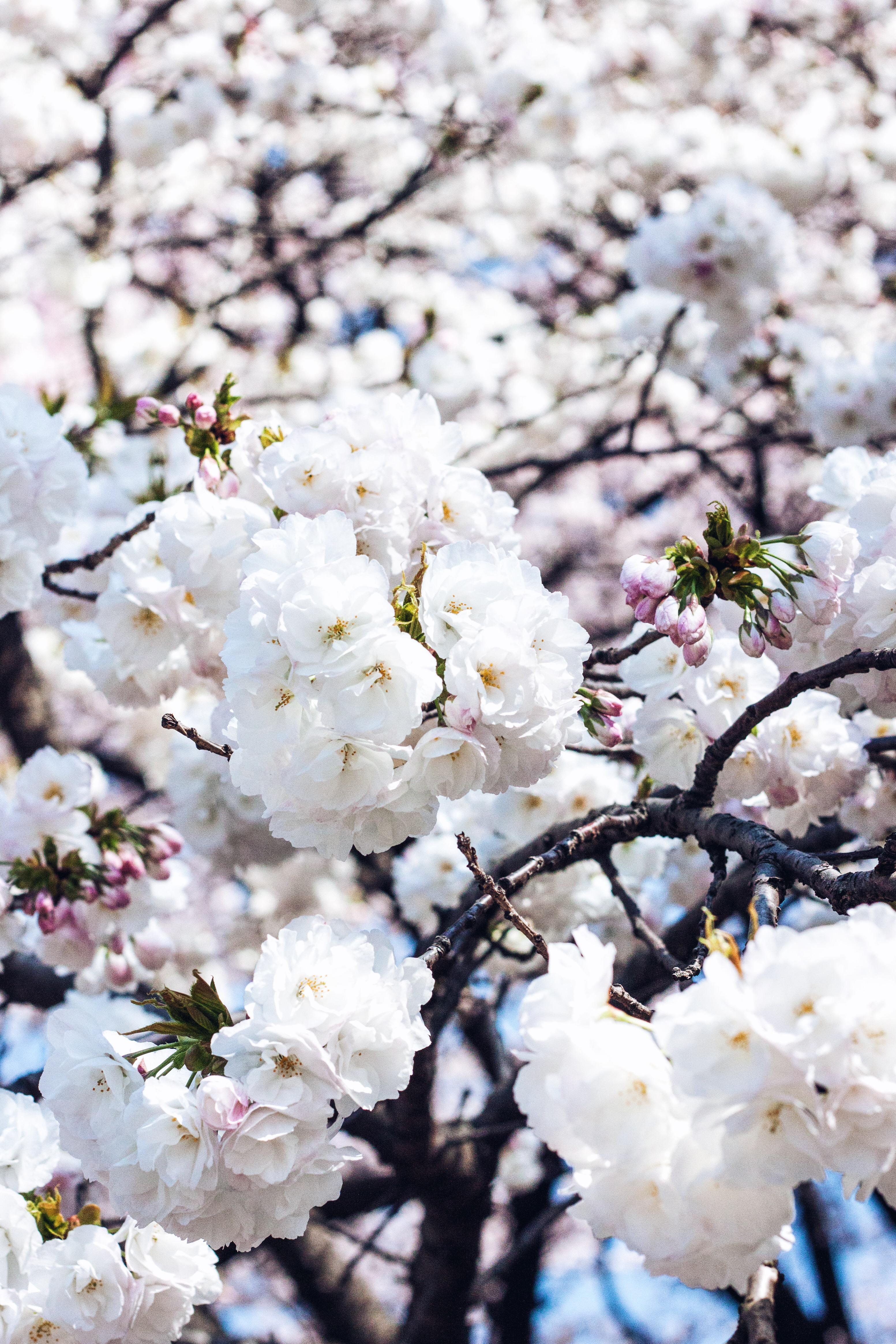 late blooming cherry blossom, japa, tokyo, sakura, cherry blossoms 2016, cherry blossoms tokyo, sakura 2016, cherry blossom season 2016, cherry blossom japan